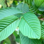 what is kratom opiate withdrawal